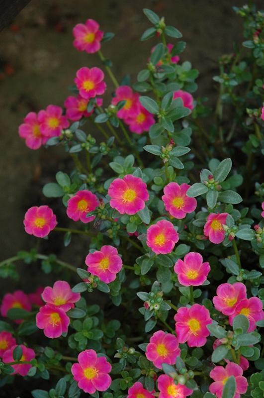 Mojave Pink Portulaca Portulaca Grandiflora Mojave Pink