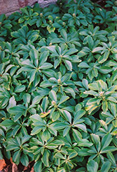 Japanese Spurge (Pachysandra terminalis) at Atlantic Nursery