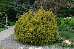 Rheingold Arborvitae (Thuja occidentalis 'Rheingold') at Atlantic Nursery