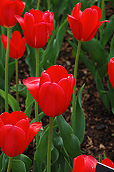Hollandia Tulip (Tulipa 'Hollandia') at Atlantic Nursery