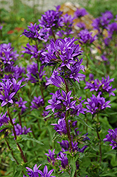 Clustered Bellflower (Campanula glomerata) at Atlantic Nursery