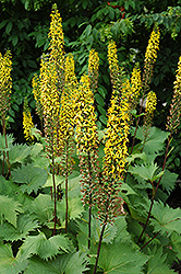 The Rocket Rayflower (Ligularia 'The Rocket') at Atlantic Nursery