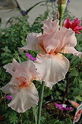 Beverly Sills Iris (Iris 'Beverly Sills') at Atlantic Nursery