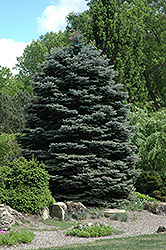 Fat Albert Blue Spruce (Picea pungens 'Fat Albert') at Atlantic Nursery