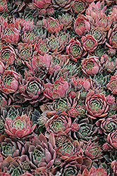 Purple Beauty Hens And Chicks (Sempervivum 'Purple Beauty') at Atlantic Nursery