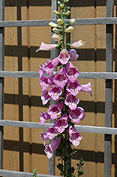 Common Foxglove (Digitalis purpurea) at Atlantic Nursery