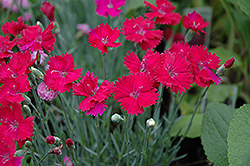 Neon Star Pinks (Dianthus 'Neon Star') at Atlantic Nursery