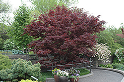Bloodgood Japanese Maple (Acer palmatum 'Bloodgood') at Atlantic Nursery