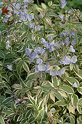 Touch Of Class Jacob's Ladder (Polemonium reptans 'Touch Of Class') at Atlantic Nursery