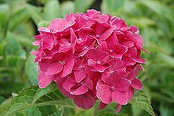 Pink Elf Dwarf Hydrangea (Hydrangea macrophylla 'Pink Elf') at Atlantic Nursery