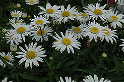 Angel Daisy (Leucanthemum x superbum 'Angel Daisy') at Atlantic Nursery