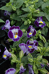 Catalina Midnight Blue Torenia (Torenia 'Catalina Midnight Blue') at Atlantic Nursery