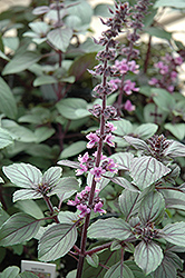 African Blue Basil (Ocimum 'African Blue') at Atlantic Nursery