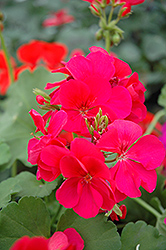 Pink Ivy Leaf Geranium (Pelargonium peltatum 'Pink') at Atlantic Nursery