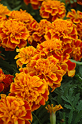 Bonanza Flame Marigold (Tagetes patula 'Bonanza Flame') at Atlantic Nursery