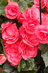 Dragone Dusty Rose Begonia (Begonia 'Dragone Dusty Rose') at Atlantic Nursery