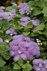 Hawaii Blue Flossflower (Ageratum 'Hawaii Blue') at Atlantic Nursery