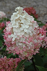 Vanilla Strawberry™ Hydrangea (Hydrangea paniculata 'Renhy') at Atlantic Nursery