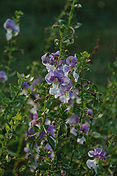 Angelface® Wedgewood Blue Angelonia (Angelonia angustifolia 'Angelface Wedgewood Blue') at Atlantic Nursery