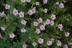Superbells® Cherry Blossom Calibrachoa (Calibrachoa 'Superbells Cherry Blossom') at Atlantic Nursery
