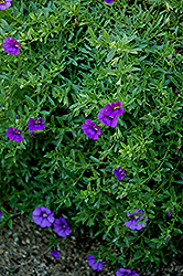 Superbells® Trailing Blue Calibrachoa (Calibrachoa 'Superbells Trailing Blue') at Atlantic Nursery