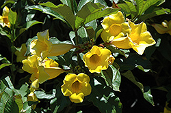 Golden Trumpet (Allamanda cathartica) at Atlantic Nursery