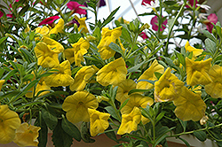 Superbells® Yellow Calibrachoa (Calibrachoa 'Superbells Yellow') at Atlantic Nursery