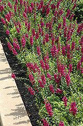 Archangel™ Raspberry Angelonia (Angelonia angustifolia 'Archangel Raspberry') at Atlantic Nursery