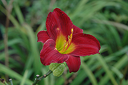Stella In Red Daylily (Hemerocallis 'Stella In Red') at Atlantic Nursery
