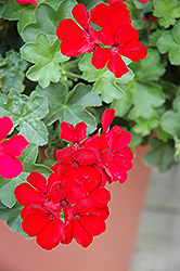Caliente Deep Red Geranium (Pelargonium 'Caliente Deep Red') at Atlantic Nursery