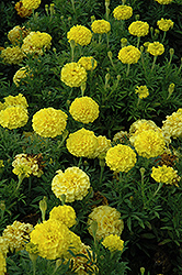 Lady First Marigold (Tagetes erecta 'Lady First') at Atlantic Nursery