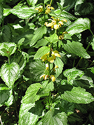 Yellow Archangel (Lamiastrum galeobdolon) at Atlantic Nursery