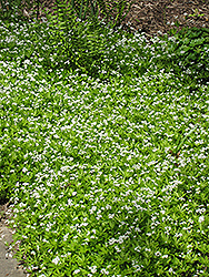 Sweet Woodruff (Galium odoratum) at Atlantic Nursery