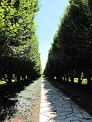 Pyramidal European Hornbeam (Carpinus betulus 'Fastigiata') at Atlantic Nursery