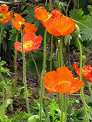 Iceland Poppy (Papaver nudicaule) at Atlantic Nursery