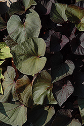 Desana Bronze Sweet Potato Vine (Ipomoea batatas 'Desana Bronze') at Atlantic Nursery