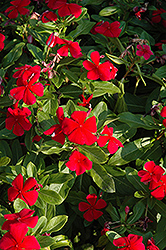 Titan™ Dark Red Vinca (Catharanthus roseus 'Titan Dark Red') at Atlantic Nursery