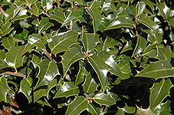 Dragon Lady Holly (Ilex x aquipernyi 'Meschick') at Atlantic Nursery