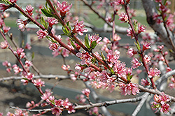 Redhaven Peach (Prunus persica 'Redhaven') at Atlantic Nursery