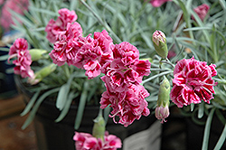 Dragon Fruit Pinks (Dianthus 'Dragon Fruit') at Atlantic Nursery