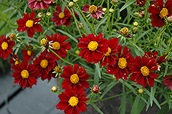 Mercury Rising Tickseed (Coreopsis 'Mercury Rising') at Atlantic Nursery
