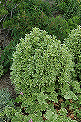 Greek Columnar Basil (Ocimum basilicum 'Greek Columnar') at Atlantic Nursery