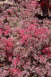 Rosy Glow Stonecrop (Sedum 'Rosy Glow') at Atlantic Nursery