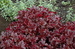 Midnight Ruffles Coral Bells (Heuchera 'Midnight Ruffles') at Atlantic Nursery