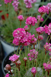 Splendens Sea Thrift (Armeria maritima 'Splendens') at Atlantic Nursery