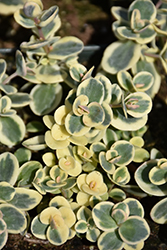 Lime Twister Stonecrop (Sedum 'Lime Twister') at Atlantic Nursery