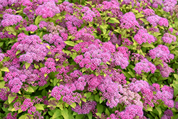 Magic Carpet Spirea (Spiraea x bumalda 'Magic Carpet') at Atlantic Nursery